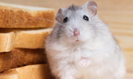 Jenis Makanan yang Tidak Boleh Dimakan Hamster