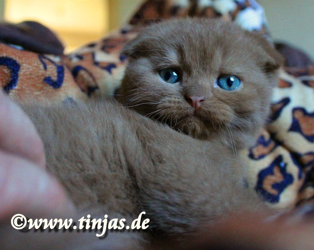 Scottish Fold cinnamon