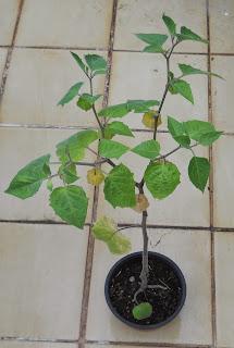 cultivo en maceta de alquejenque