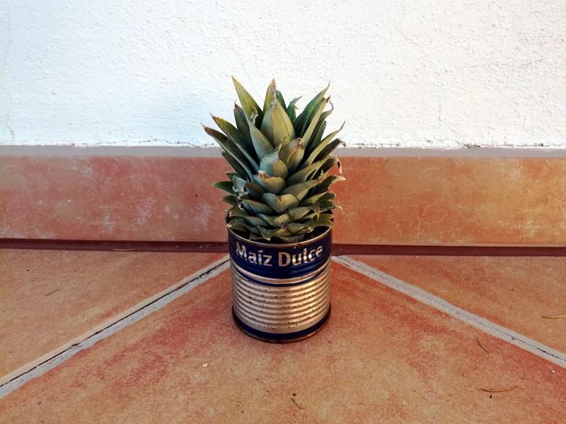 Pianta di ananas?