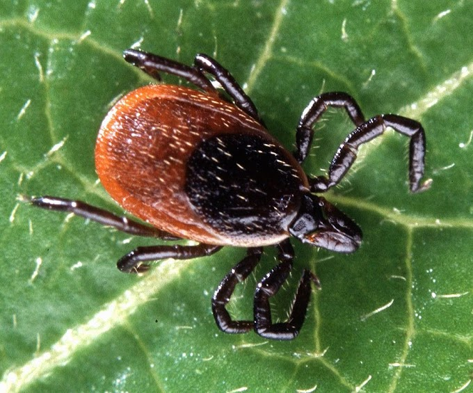 Ticks: The Vampires You Should Be Concerned About