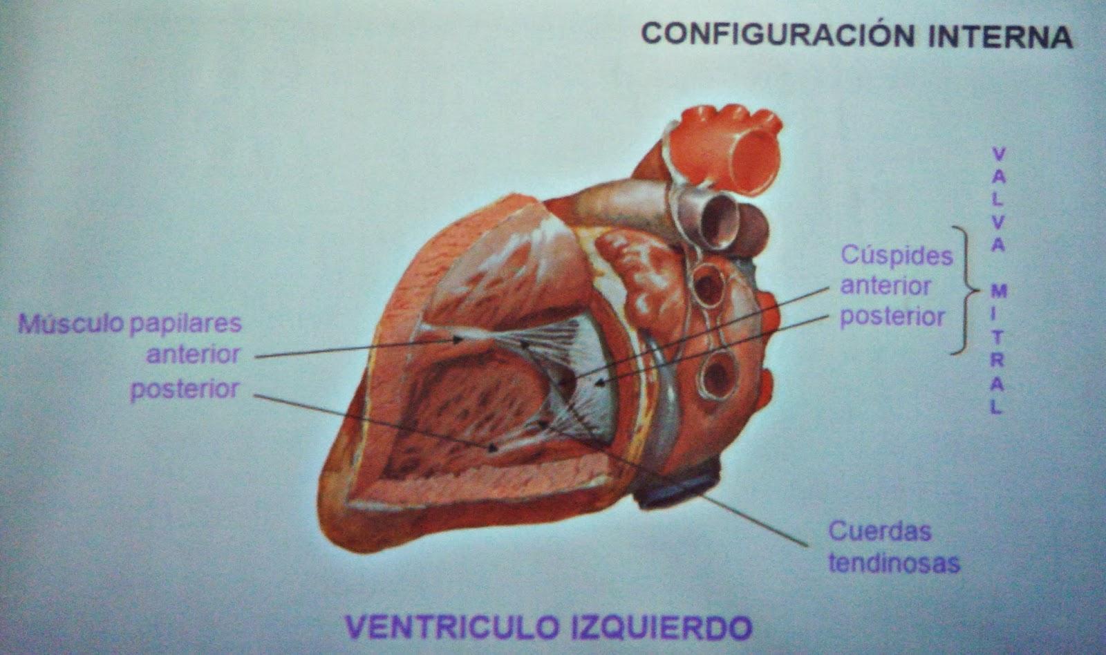 Características, estructura y funciones del Corazón (Sistema ...