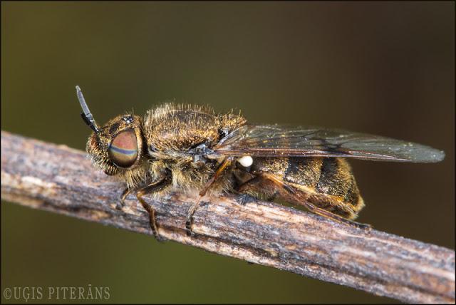 blogs3649_Odontomyia_argentata.jpg