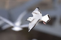 Bonaparte's Gull, nonbreeding plumage, Carlyle Lake, IL - Jan. 2016, by Andy Reago and Chrissy McClarren