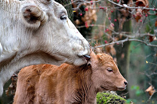 Becerro con su madre vaca