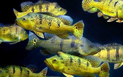 Habitat Ikan Ikan Pbass