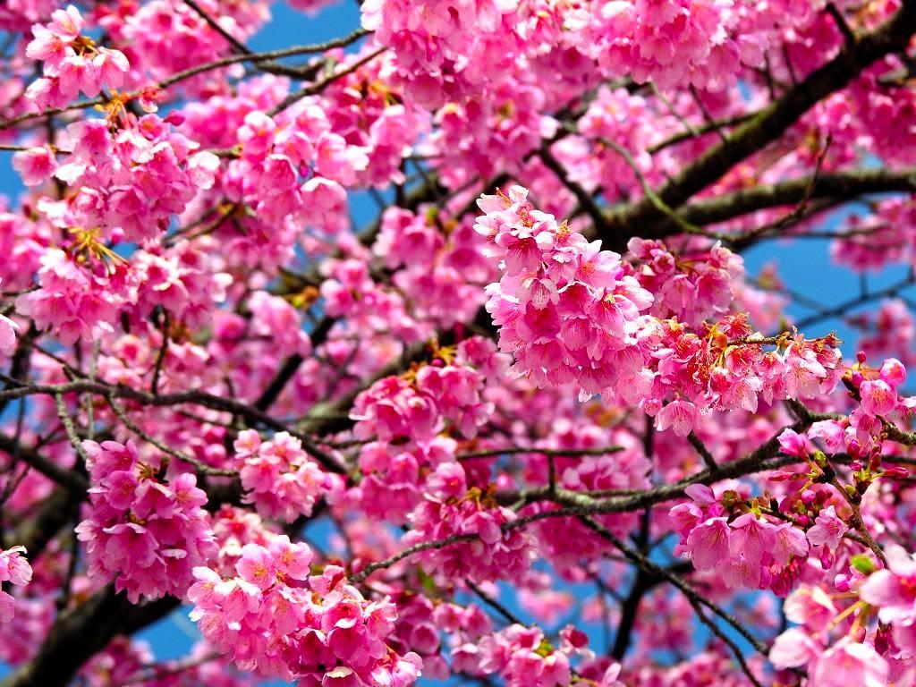 Gambar Wallpaper Bunga Sakura Bergerak Gudang Wallpaper