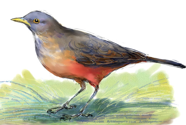 Rufous-bellied thrush sketch painting. Bird art drawing by illustrator Artmagenta