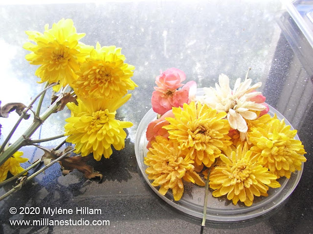 Stem of yellow chrysanthemums lying on a bench alongside a plastic lid of dried yellow chrysanthemums.