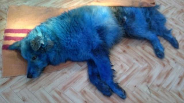 Собака, которую покрасили в синий цвет, умерла от дезориентации