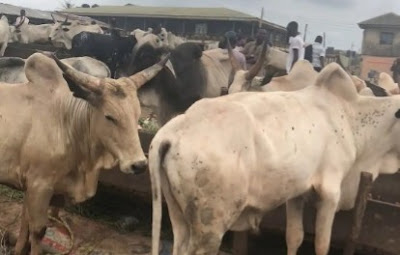 Fear As Cows In Abia State Test Positive For Deadly Bovine Tuberculosis