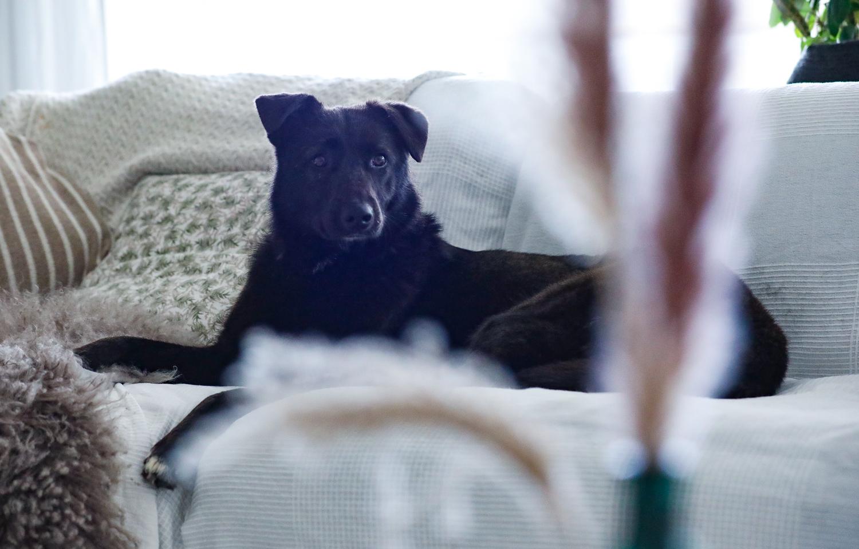 shadi-viipurin-koirat