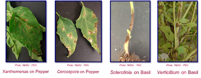 A composite photo of four plants with different diseases that looks similar to one another