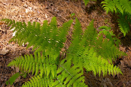 Ciri-Ciri Tumbuhan paku ( Pteridophyta )