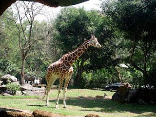 Jerapah - Taman Safari Bogor