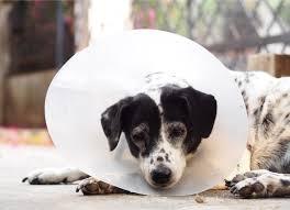 cães com colar