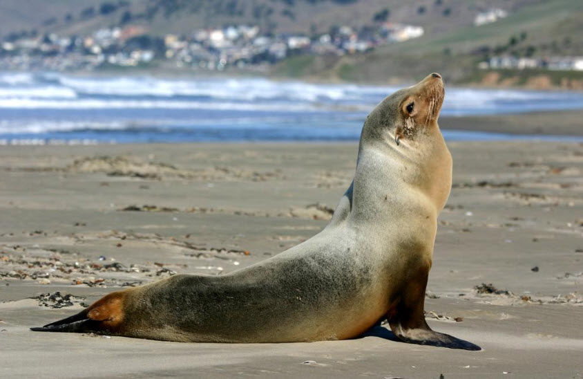 California Sea Lion Info And New Pictures All Wildlife