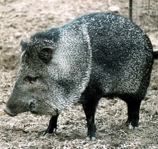 Peccary Facts, Amazing Animals , Peccary Amazing Fact