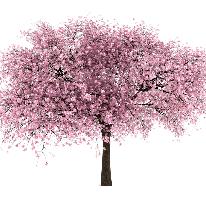 Cherry Blossom Tree Drawing free png