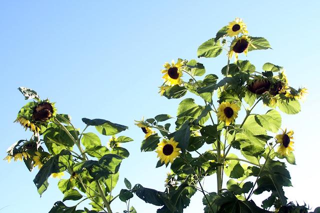 sunflowers, garden, late summer, summer, Anne Butera, My Giant Strawberry