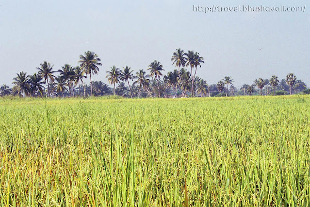 Rice fields in Dharmapuri, South India
