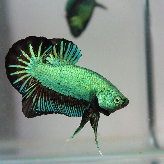 Ciri Ciri dan Karakteristik Ikan Cupang Aduan