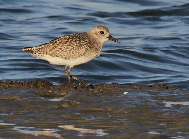 Black-Bellied Plover with winter plumage