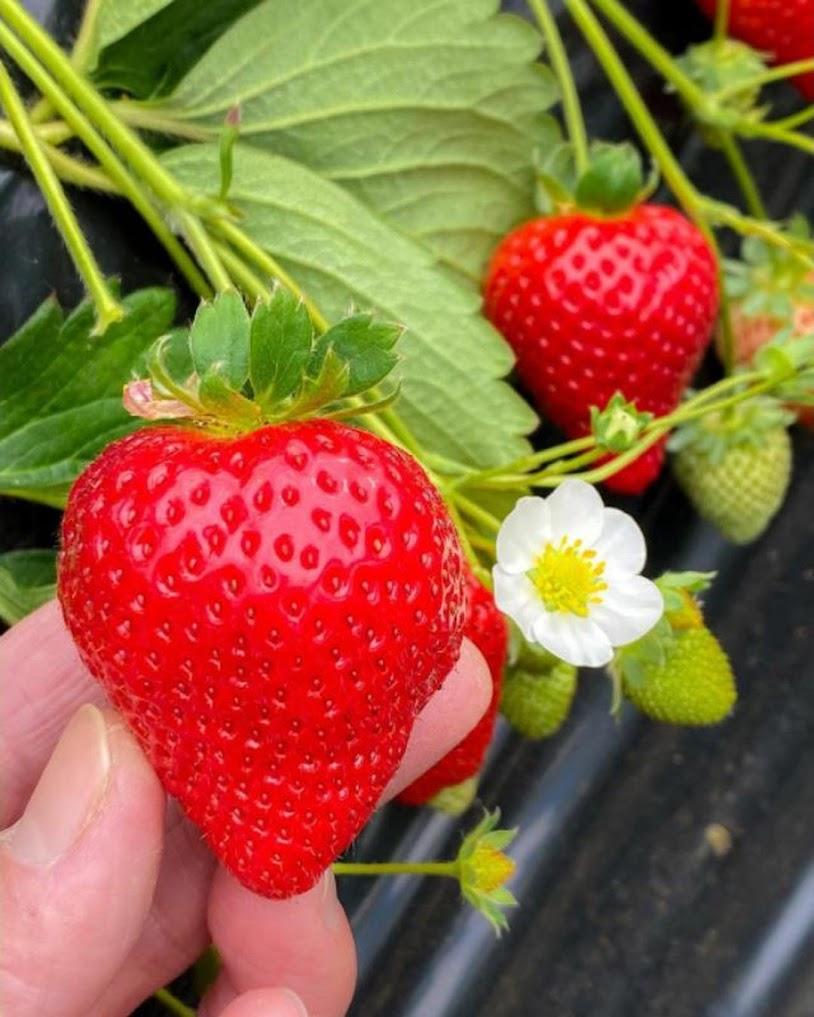 bibit strawbery super Surakarta