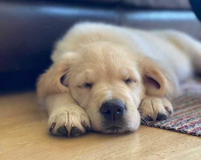 Why Is Your Dog Barking In Their Sleep?