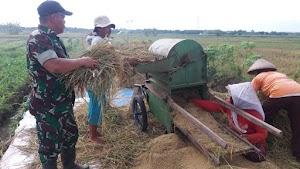 Babinsa Karangawen Bantu Petani Panen Padi di Demak