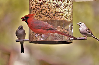 Photo of cardinal and chipping sparrows at seed feeder