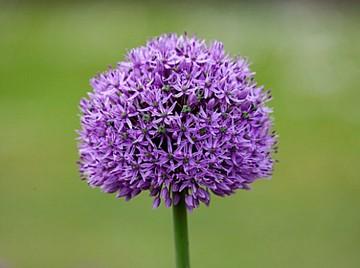 Allium 'Gladiator' Foto Clive Nichols
