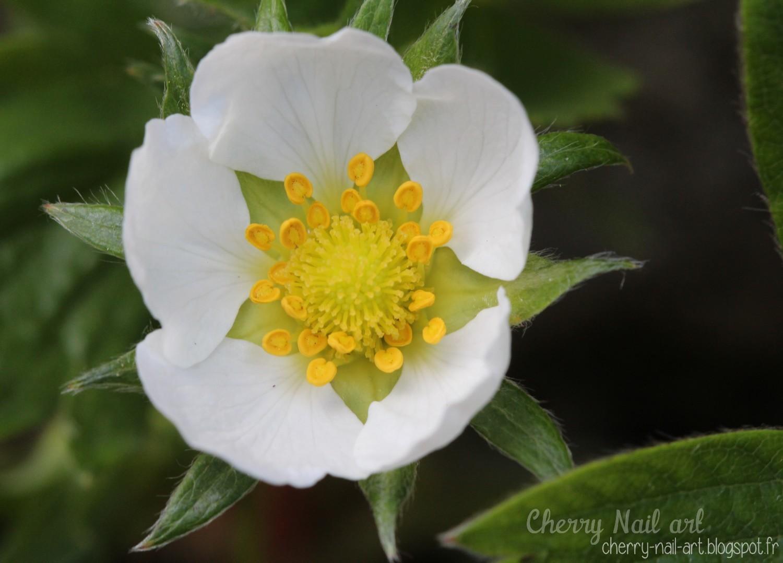 Fleur de fraisier macro