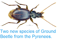 http://sciencythoughts.blogspot.co.uk/2012/12/two-new-species-of-ground-beetle-from.html
