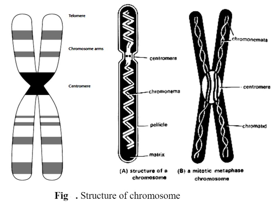 Structure of Chromosomes: Prokaryotic and Eukaryotic