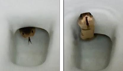 Kemunculan ular king cobra di toilet
