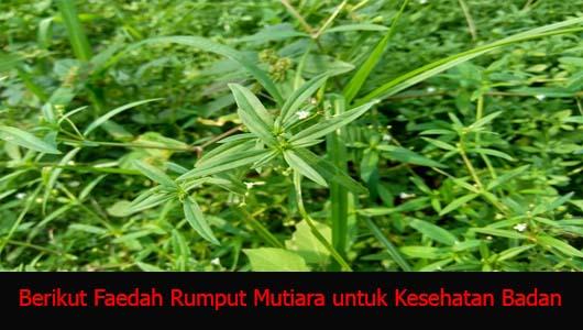Berikut Faedah Rumput Mutiara untuk Kesehatan Badan
