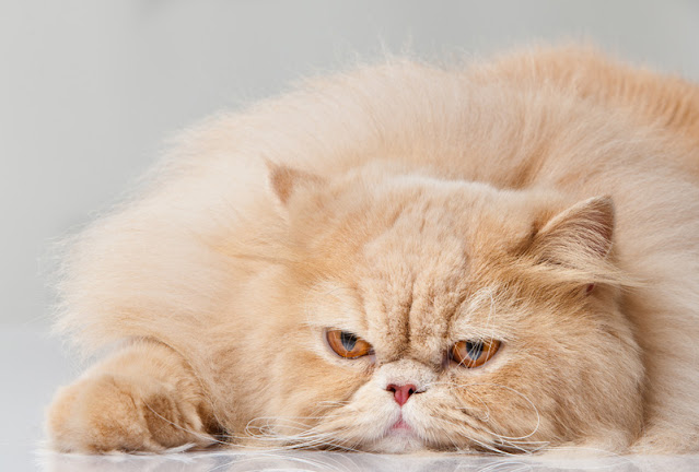 A Persian cat with the traditional flat face, known as brachycephaly. Why do people pick these cats or other pedigrees?