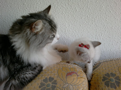gatos-cariñoso-amistoso-compañero