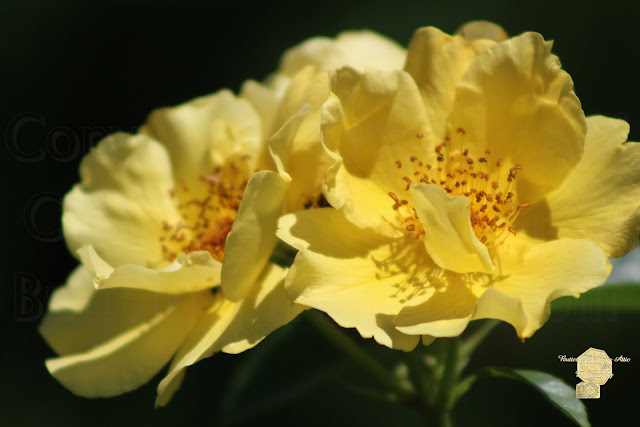 Amber Yellow Country Rose