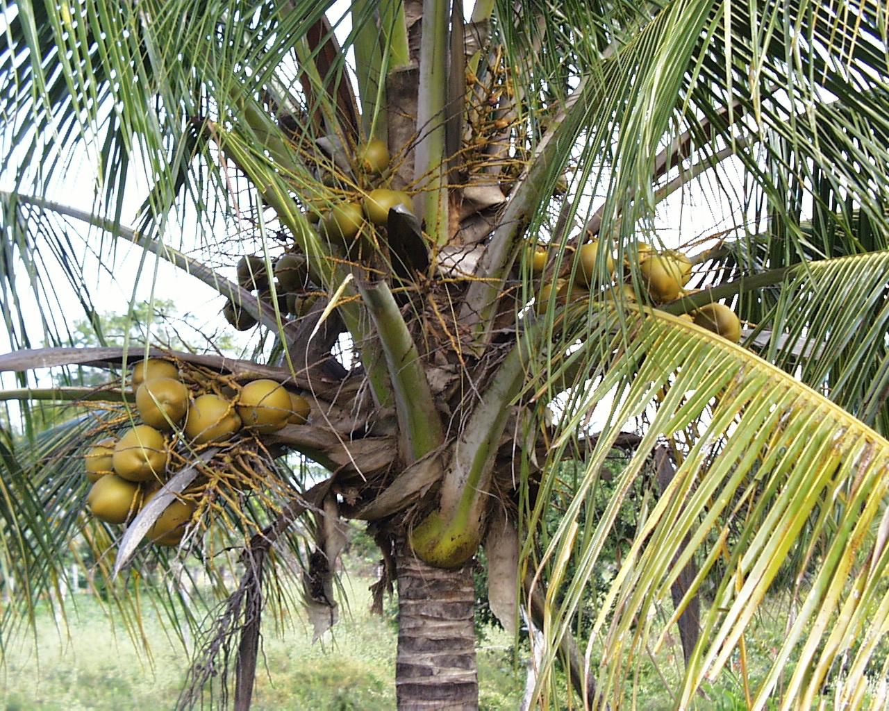 Где растут кокосы фото
