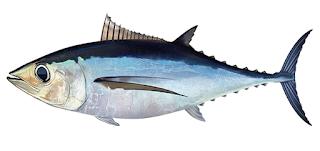 Tuna Albakor