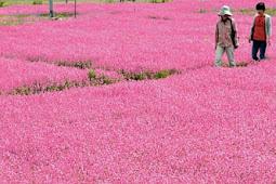 フクロナデシコ見頃 一面ピンク色