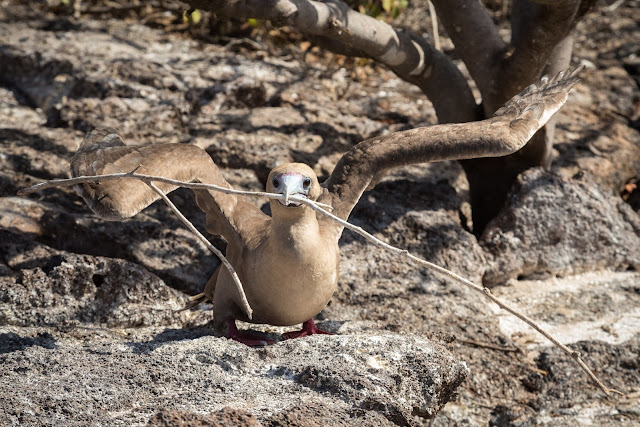 Red-Footed Booby, Genovesa Island
