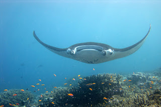 giant manta ray, endangered species act