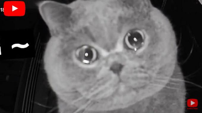 بكاء ومواء قطة بريطانية