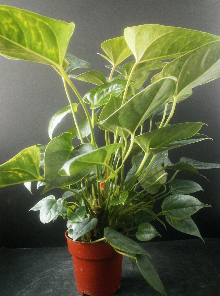 Plants are the strangest people anthurium no 0581 adam all - Anthurium turenza ...