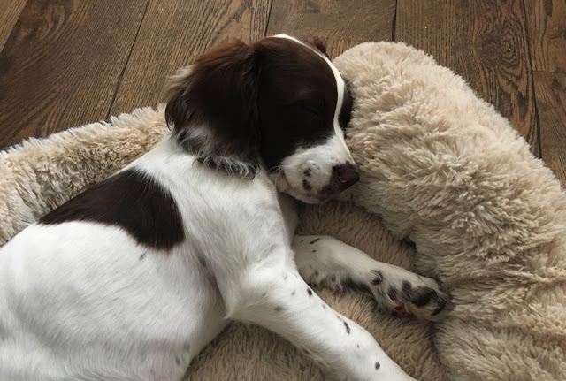 Pip - the Springer Spaniel puppy
