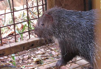 Landak hewan langka yang dilindungi di Indonesia