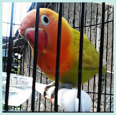 Burung Lovebrid atau sering juga disebut burung Cinta Pakan Yang Dapat Meningkatkan Birahi Love Brid